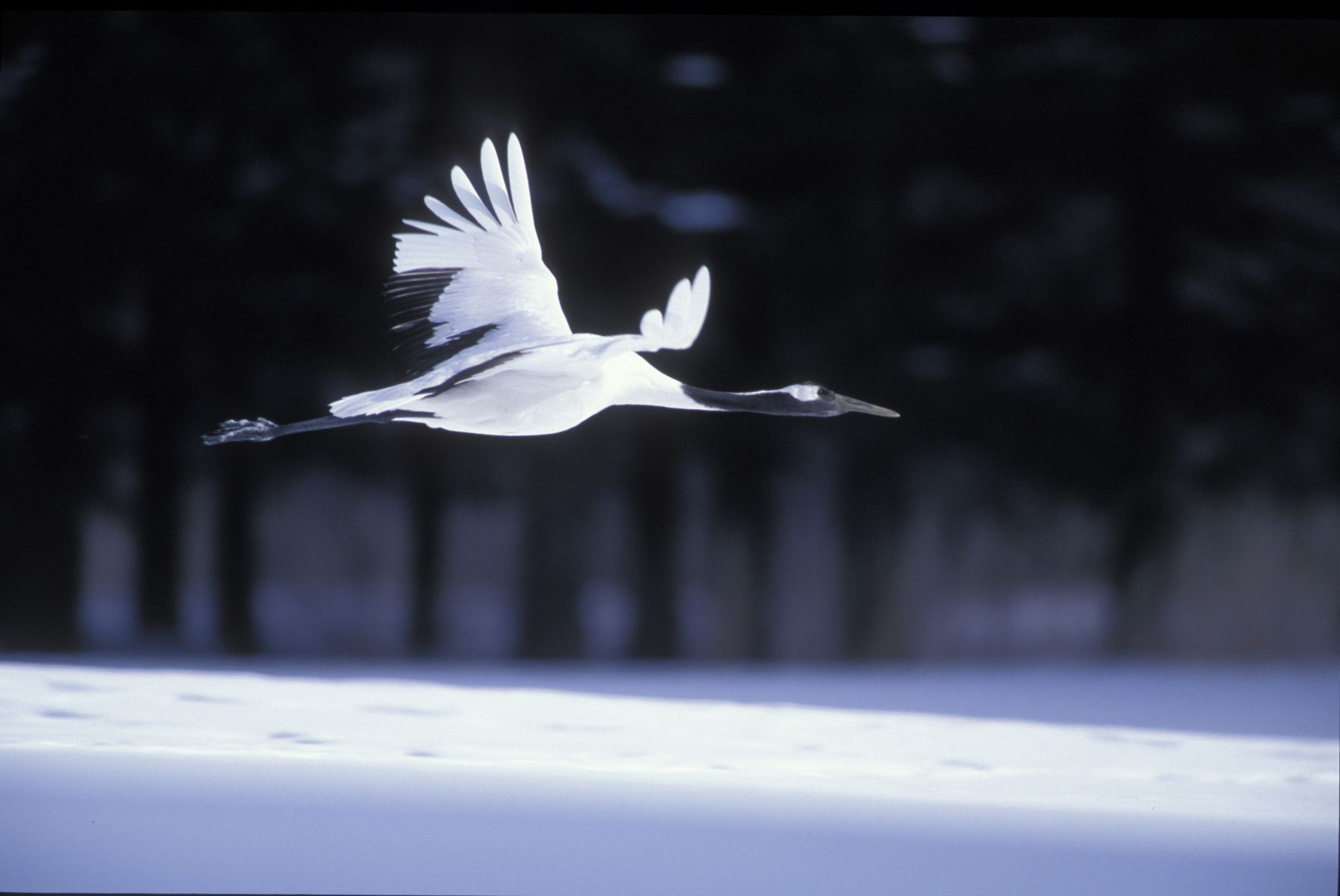 Red crowned crane in flight