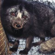 how many animals are killed each year for their fur