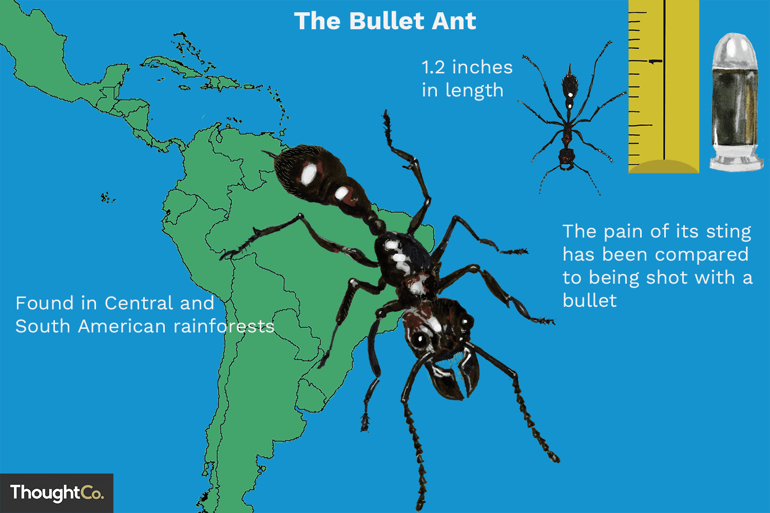 Bullet Ant Facts: Habitat, Predators, Painful Sting