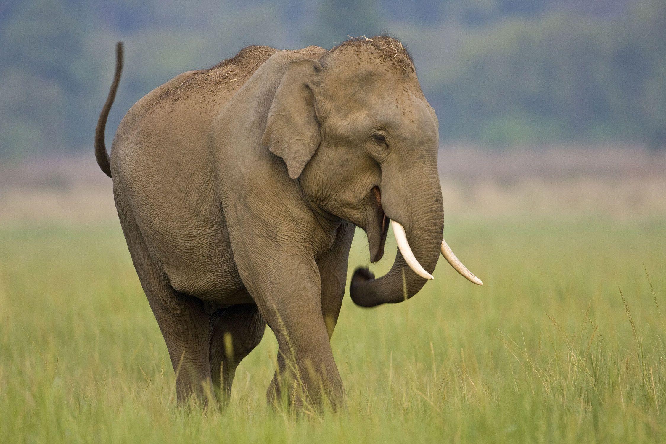 Asian elephant the elephants of india and southeast asia - Image elephant ...