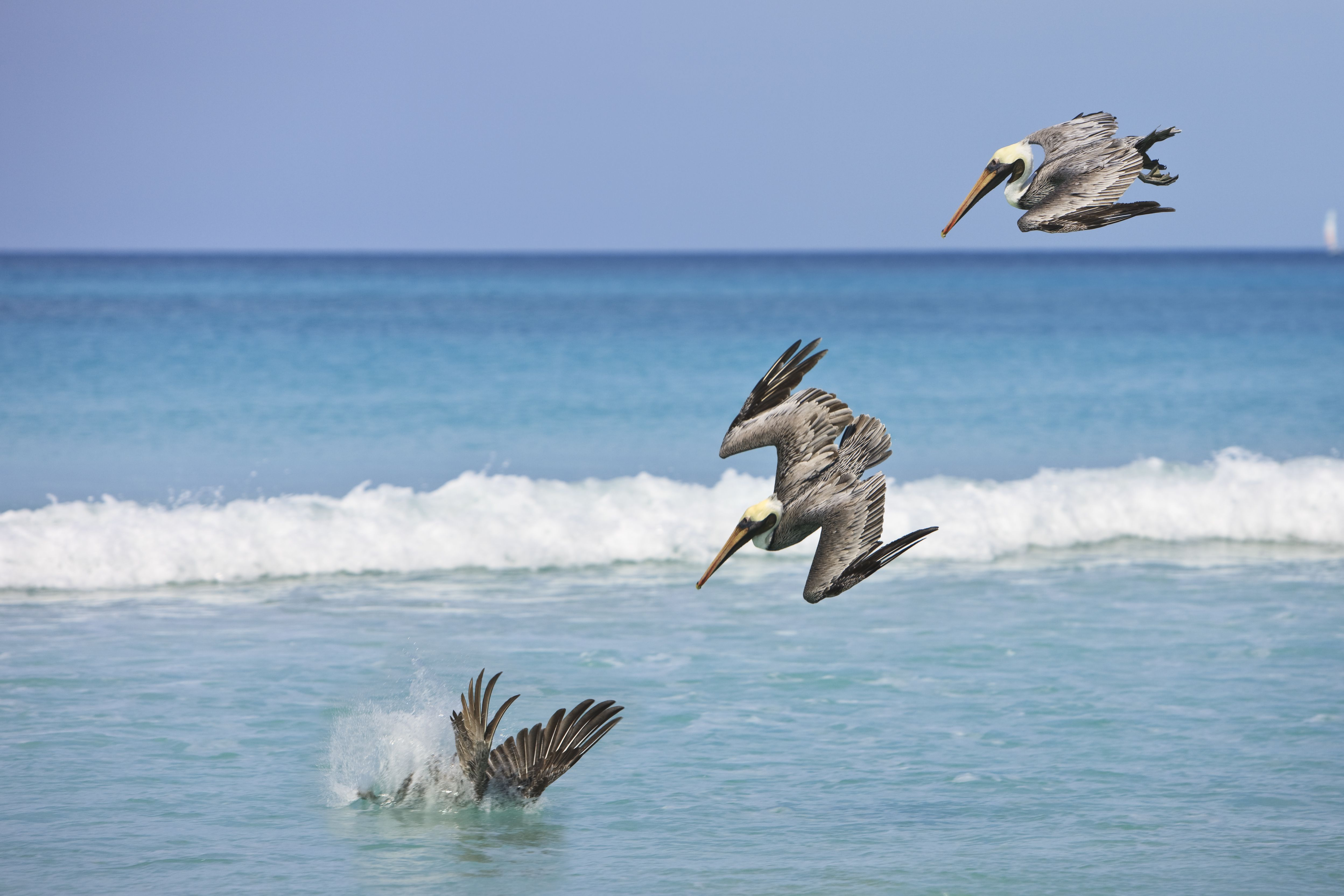 Pelicans Diving for fish