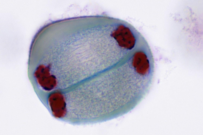 Meiosis Telophase II