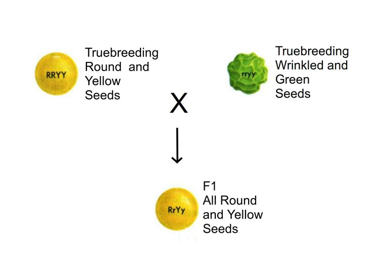 This image shows the results of a dihybrid cross in plants that are true-breeding for two different traits - seed shape and seed color.