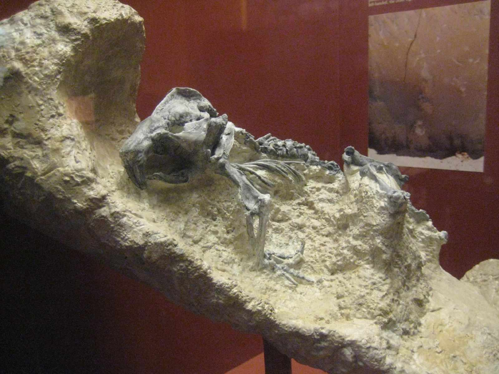 palaeocastor fossil