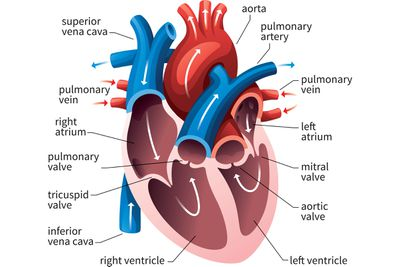 Circulatory system pulmonary and systemic circuits diagram of the human heart ccuart Choice Image