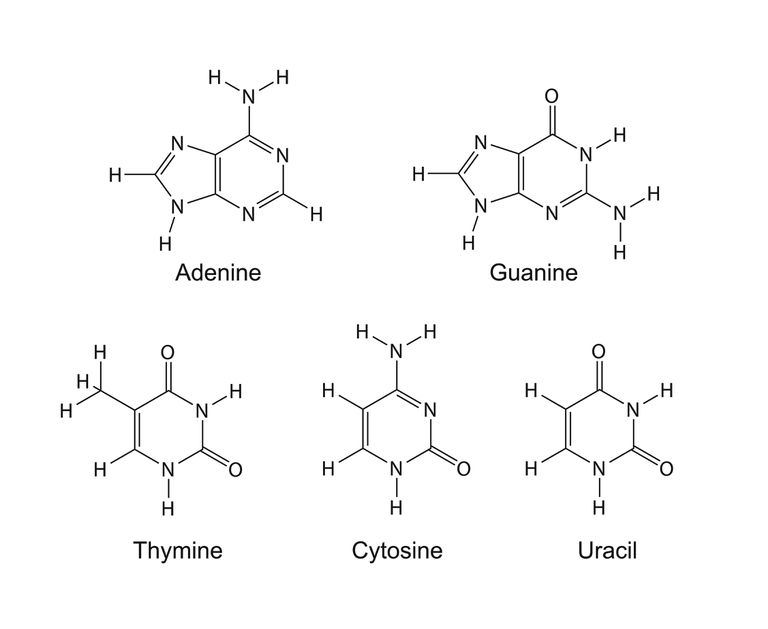 Purine and pyrimidine nitrogenous bases.