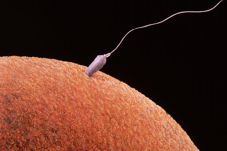 Sperm Fertilizing Egg