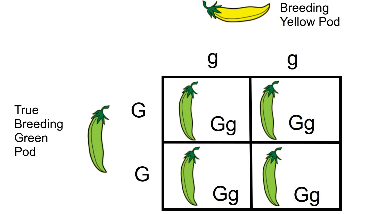 Monohybrid Cross: A Genetics Definition