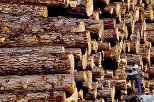Worker measuring logs in a log deck.