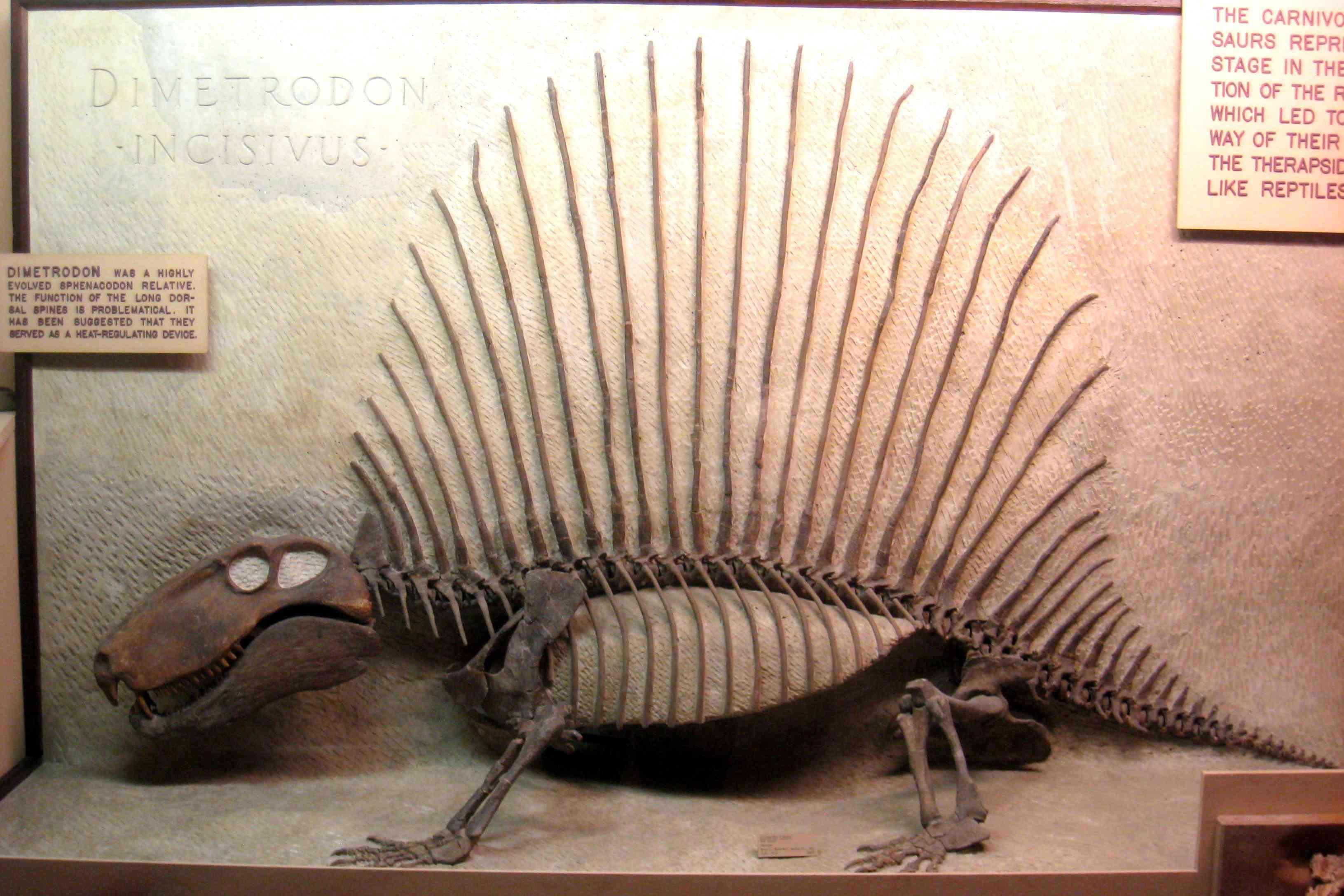 A Dimetrodon incisivus skeleton in an exhibit in Ann Arbor