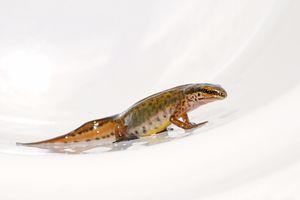 newt on white background