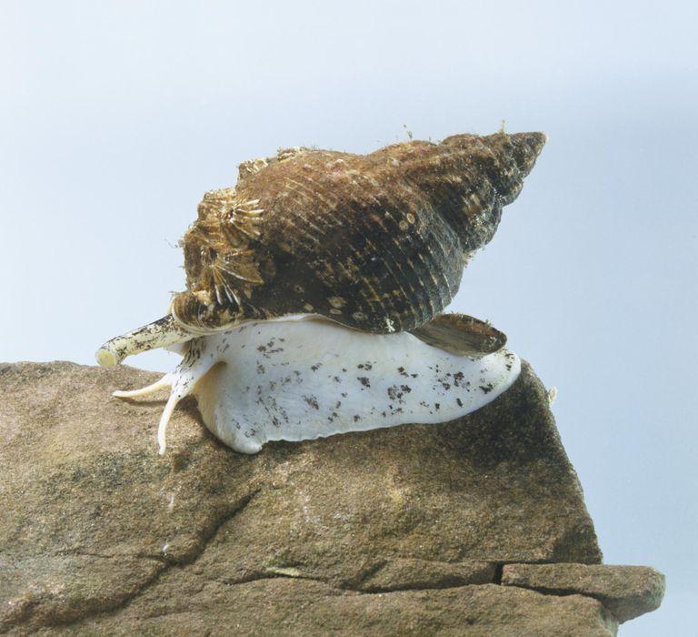 Common whelk (Buccinidae), a marine snail