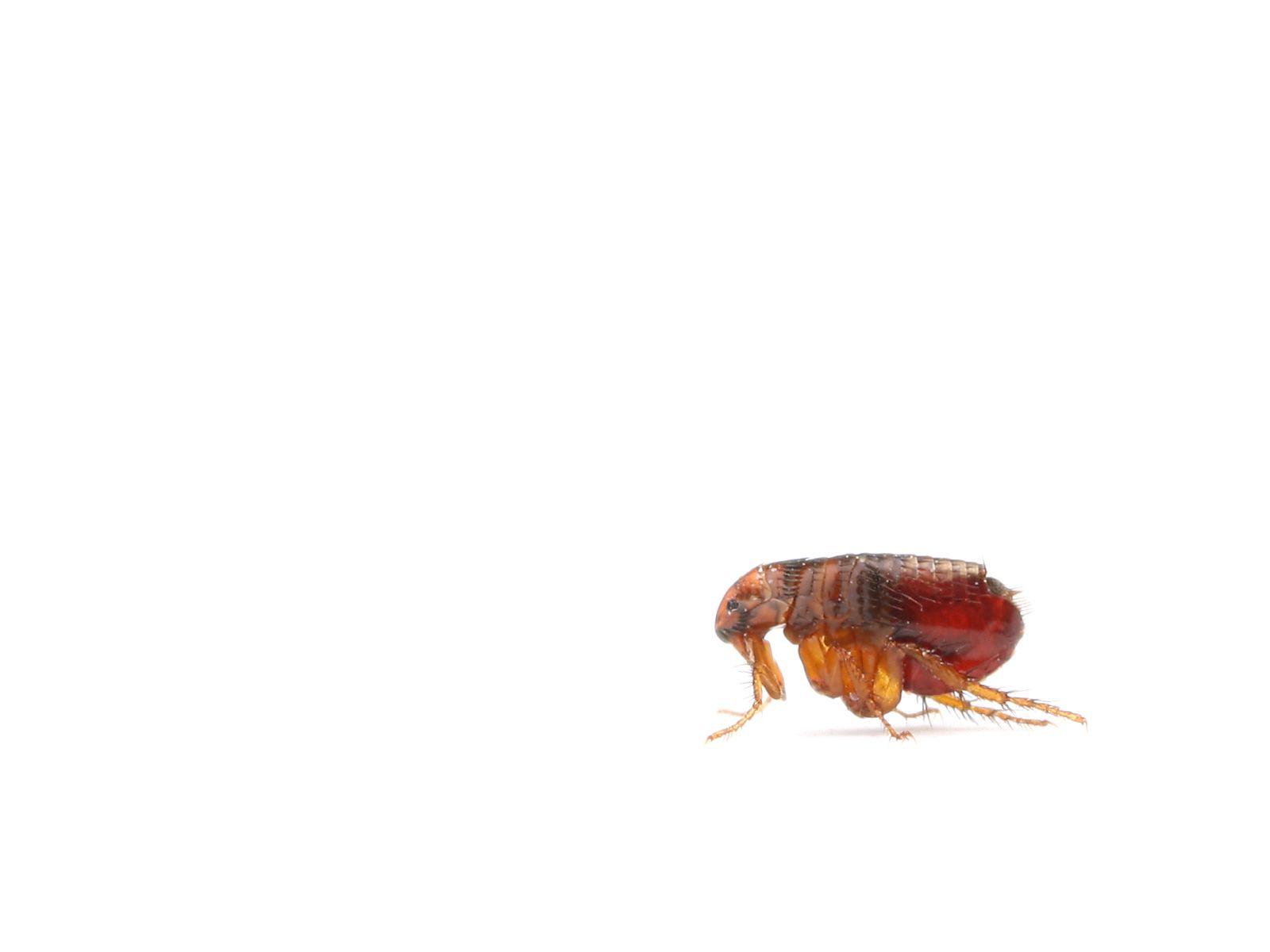 Primer plano de pulgas.