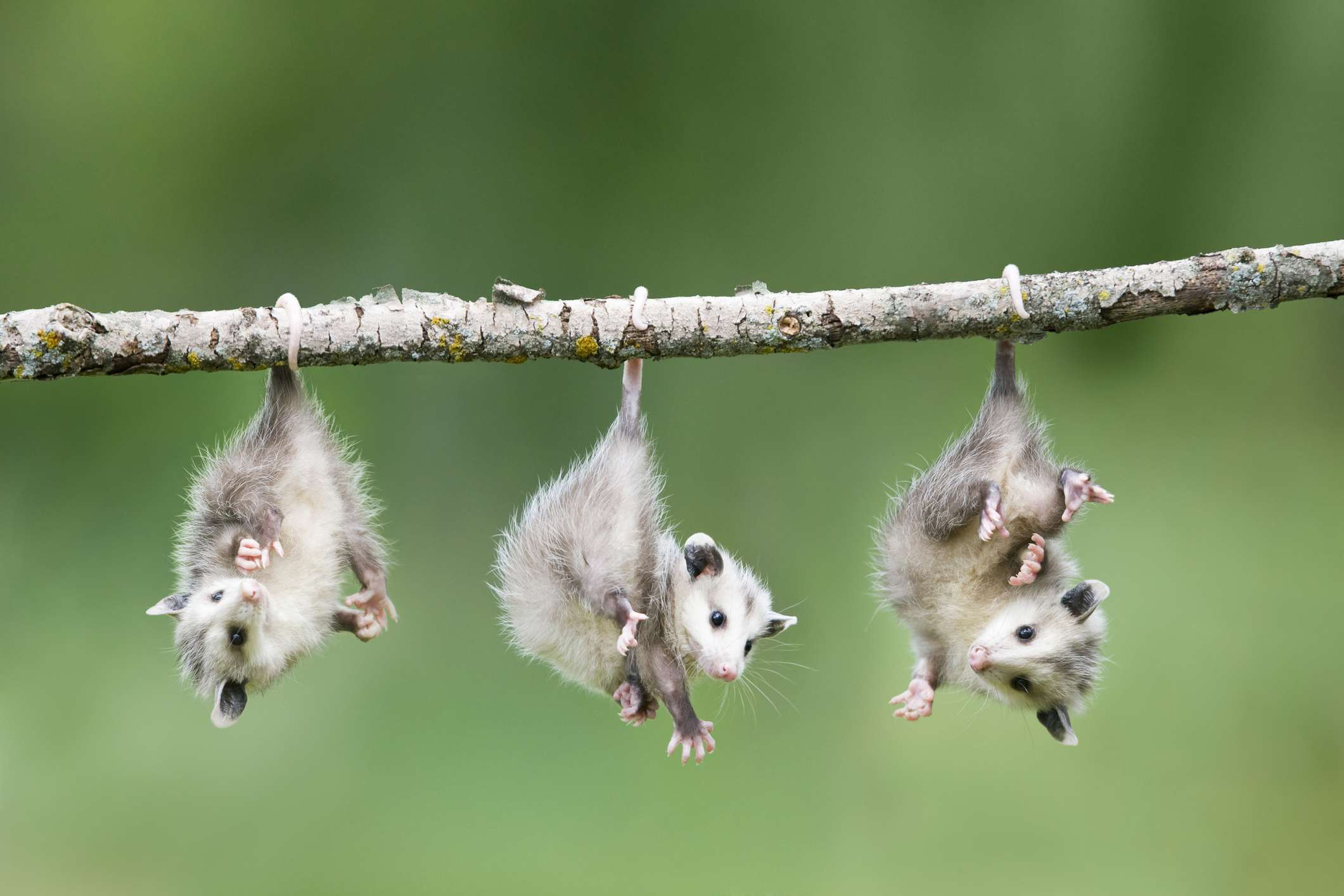 Opossums have prehensile tails and opposable thumbs on their rear feet.