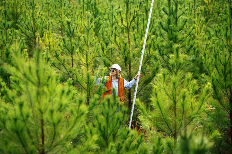 Female forestry worker checking height of tree in nursery