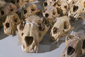 Preserved panthera tigris balica skulls