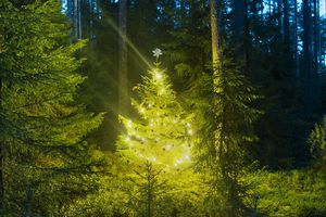 Conifer Christmas tree in forest at night