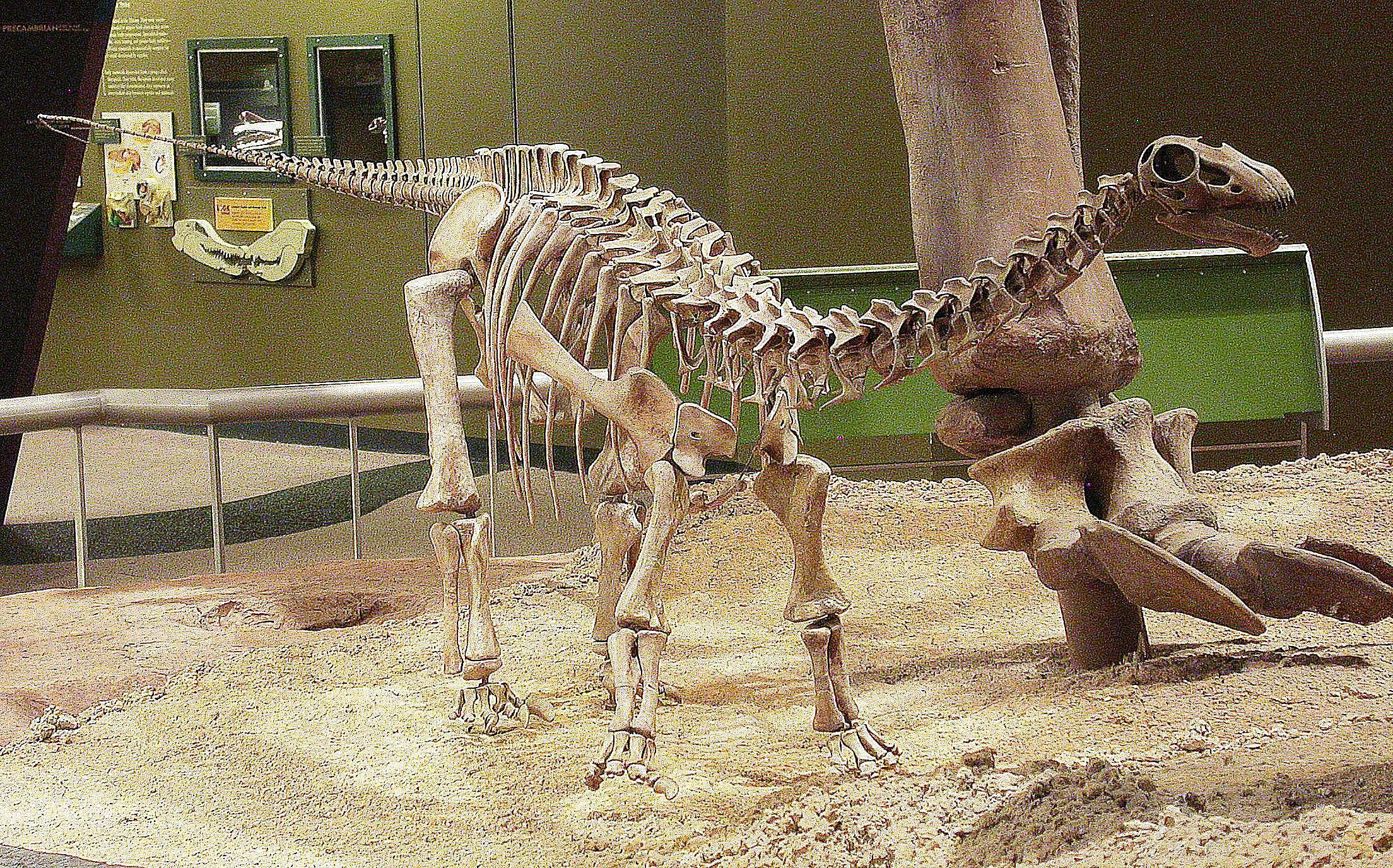 A juvenile Apatosaurus