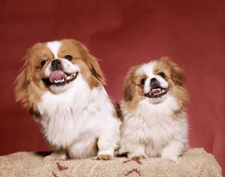 Two Pekinese dogs