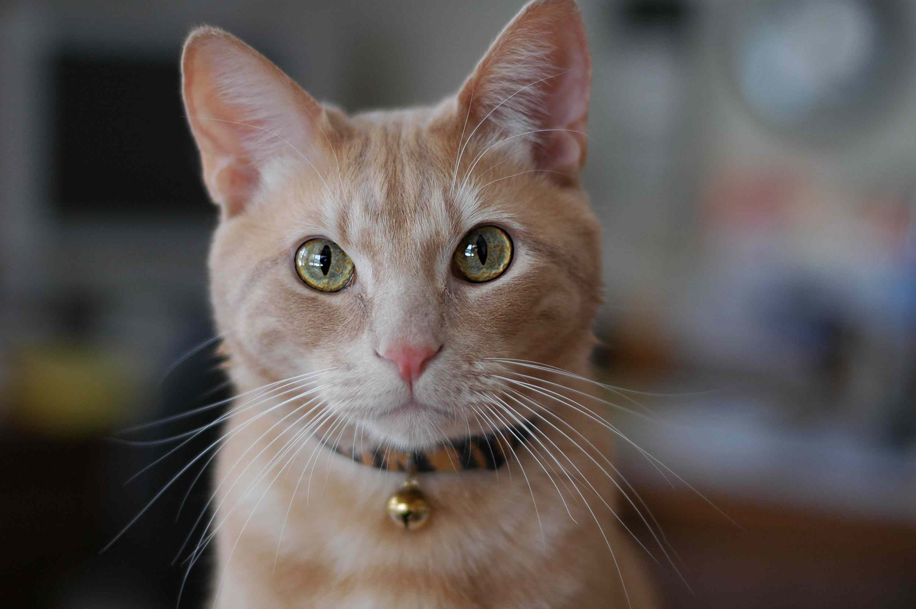 Cat with bell on collar.