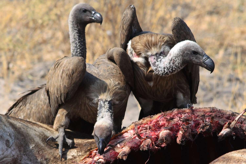 Vultures feeding on a carcass