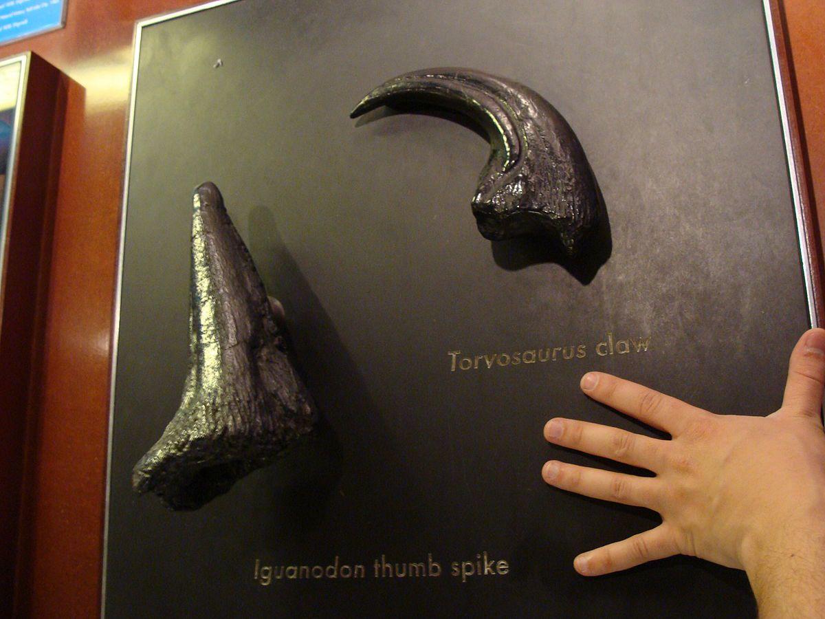 Iguanodon thumb spike, a Toryosaurus claw, and a human hand.