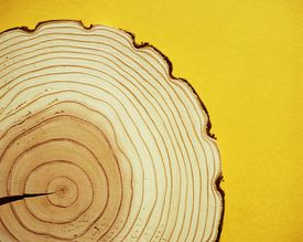 Cross section of tree trunk, annual rings