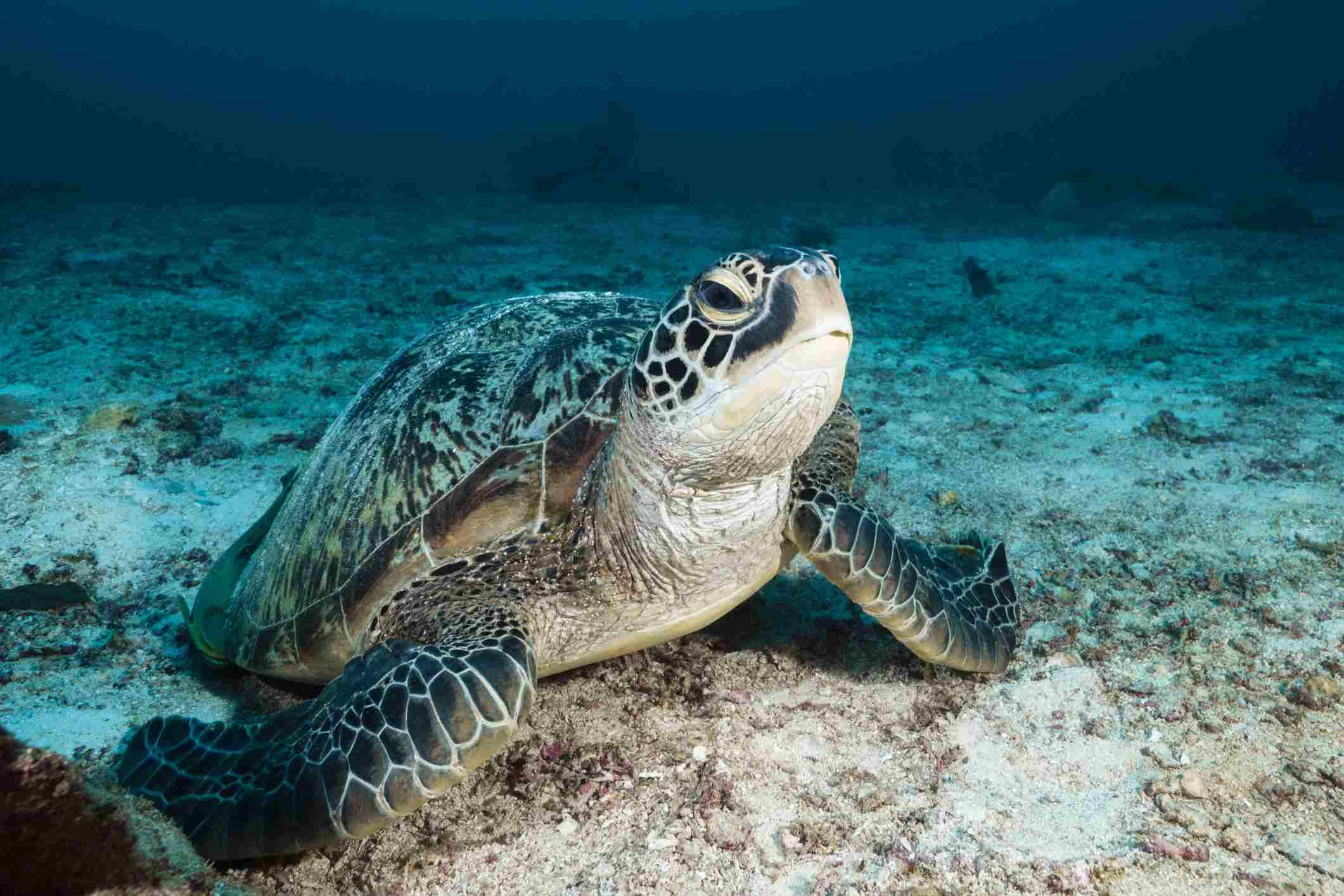 Green Sea Turtle, Raja Ampat