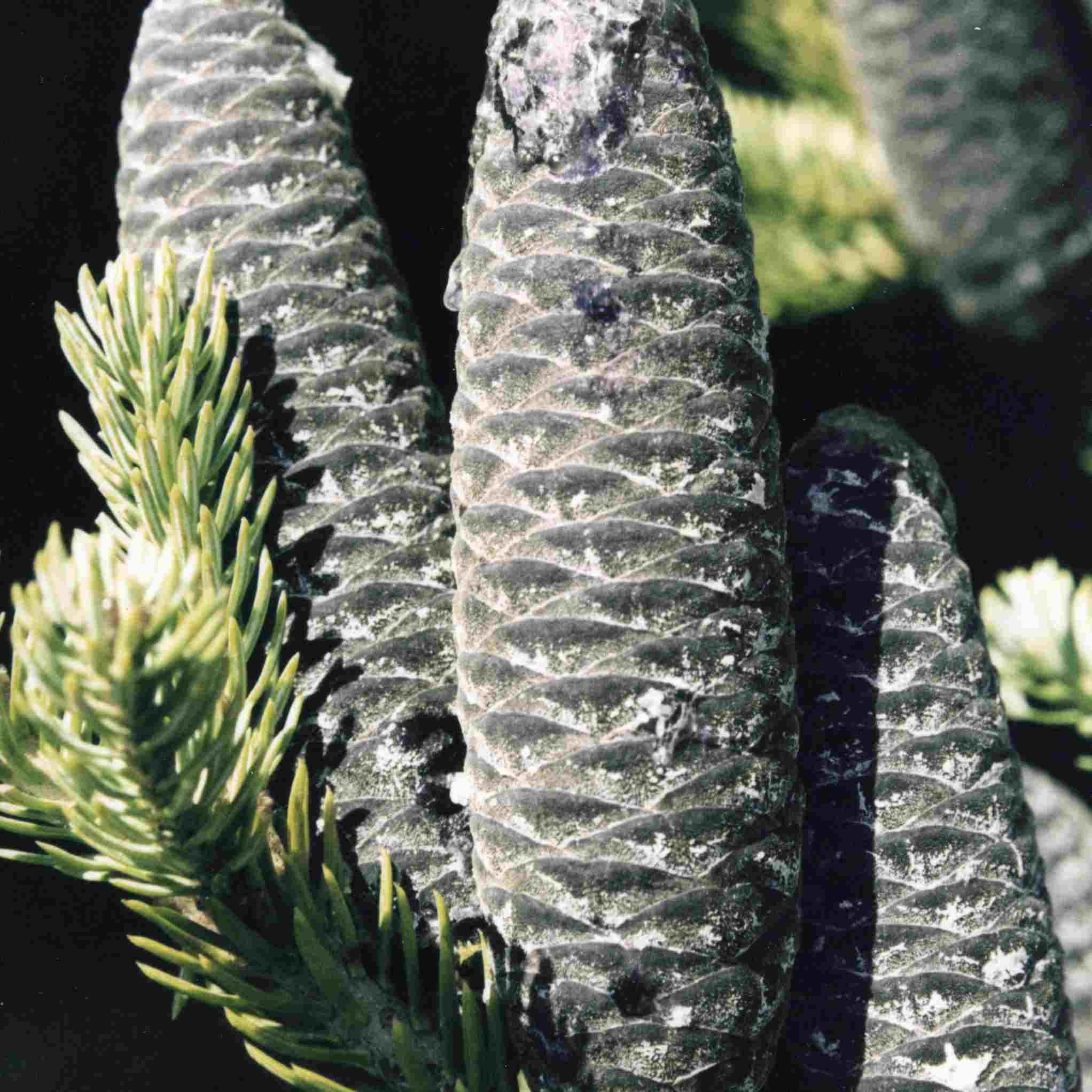 balsam fir cones