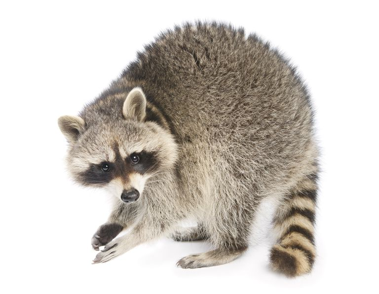 The raccoon has a masked face and a banded tail.
