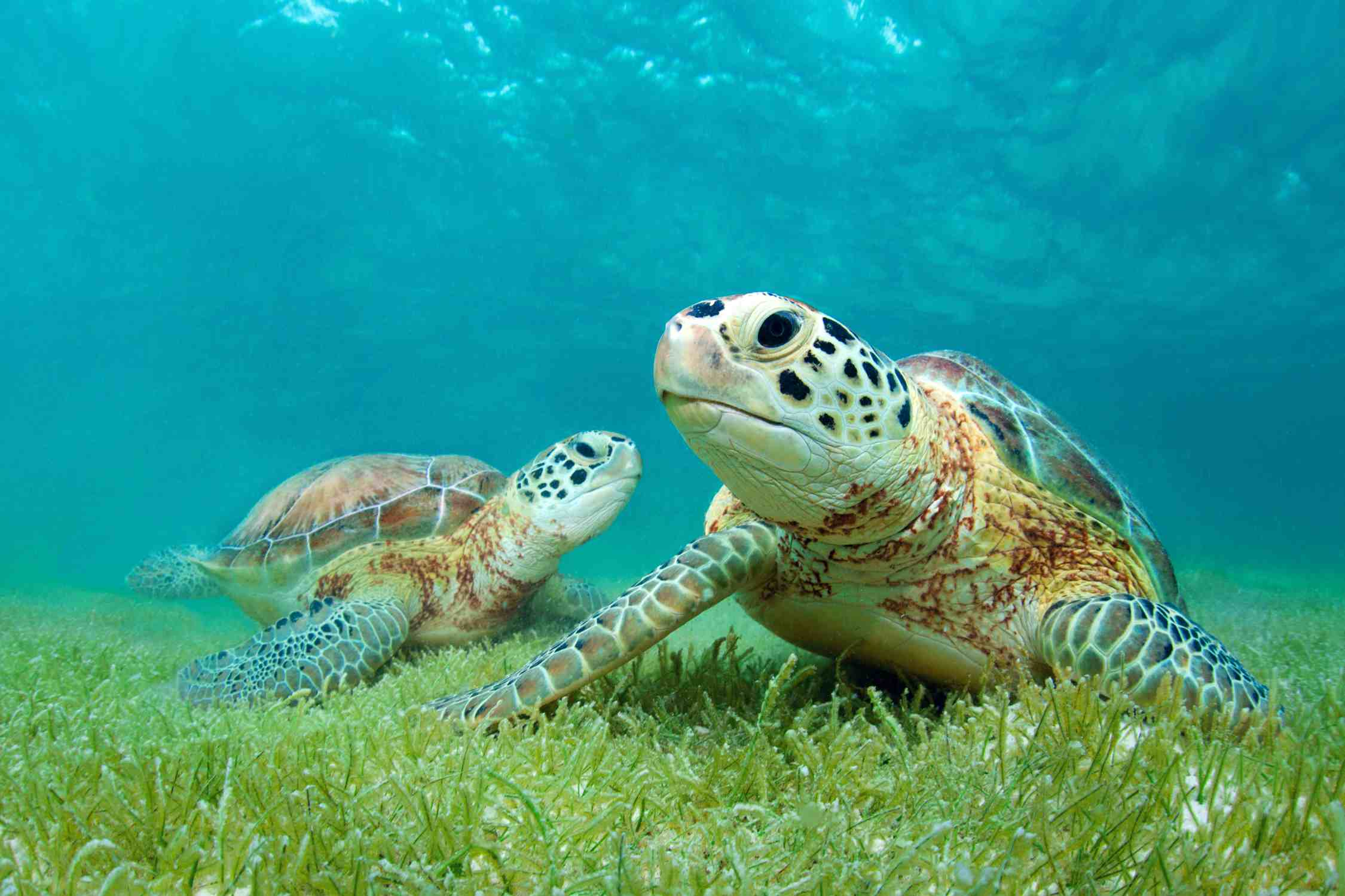 These green sea turtles are one of 293 species of turtles alive today.