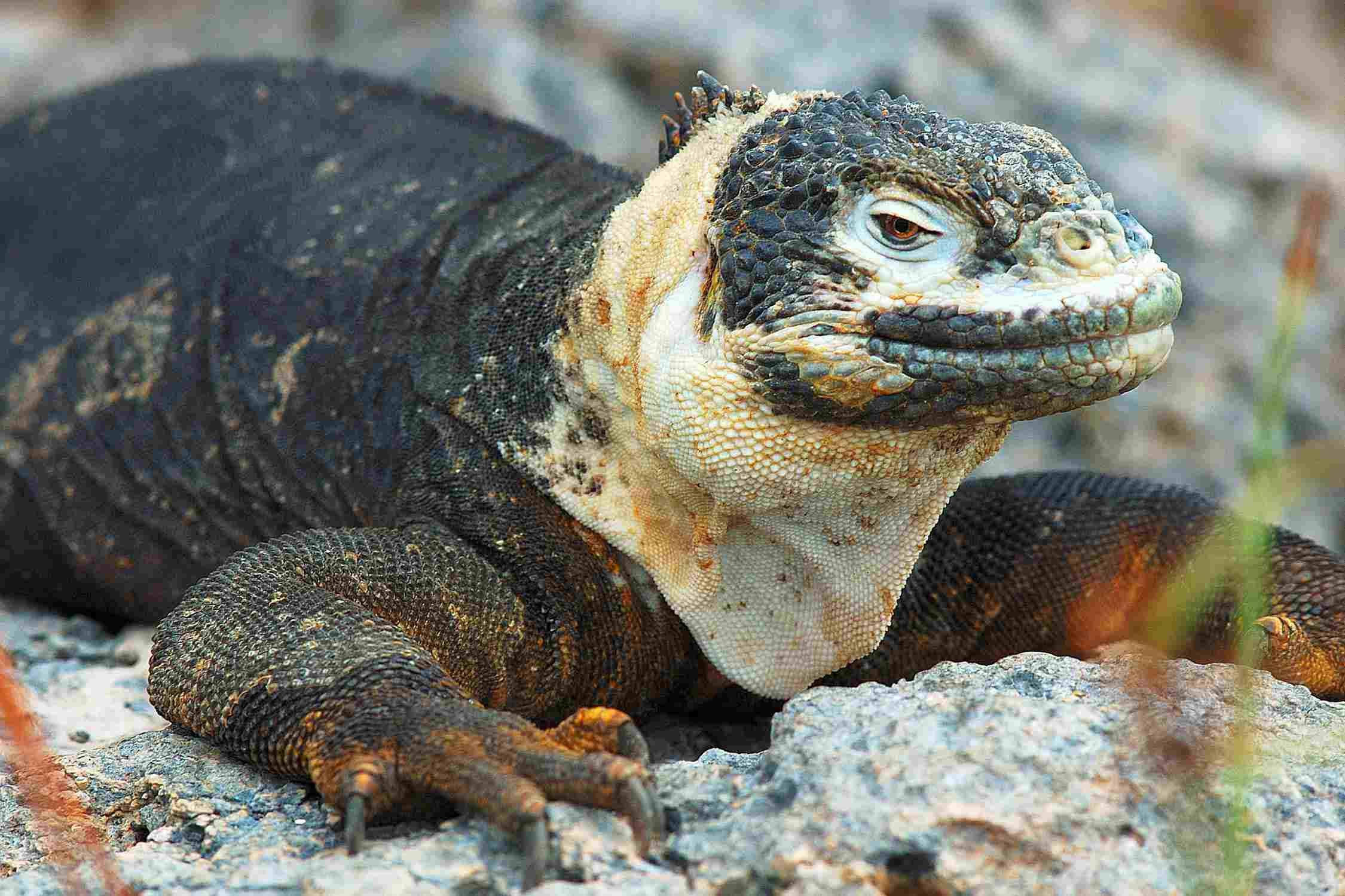 Galapagos land iguana - Conolophus subcristatus