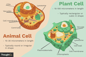 Illustration of the differences between plant cells and animal cells