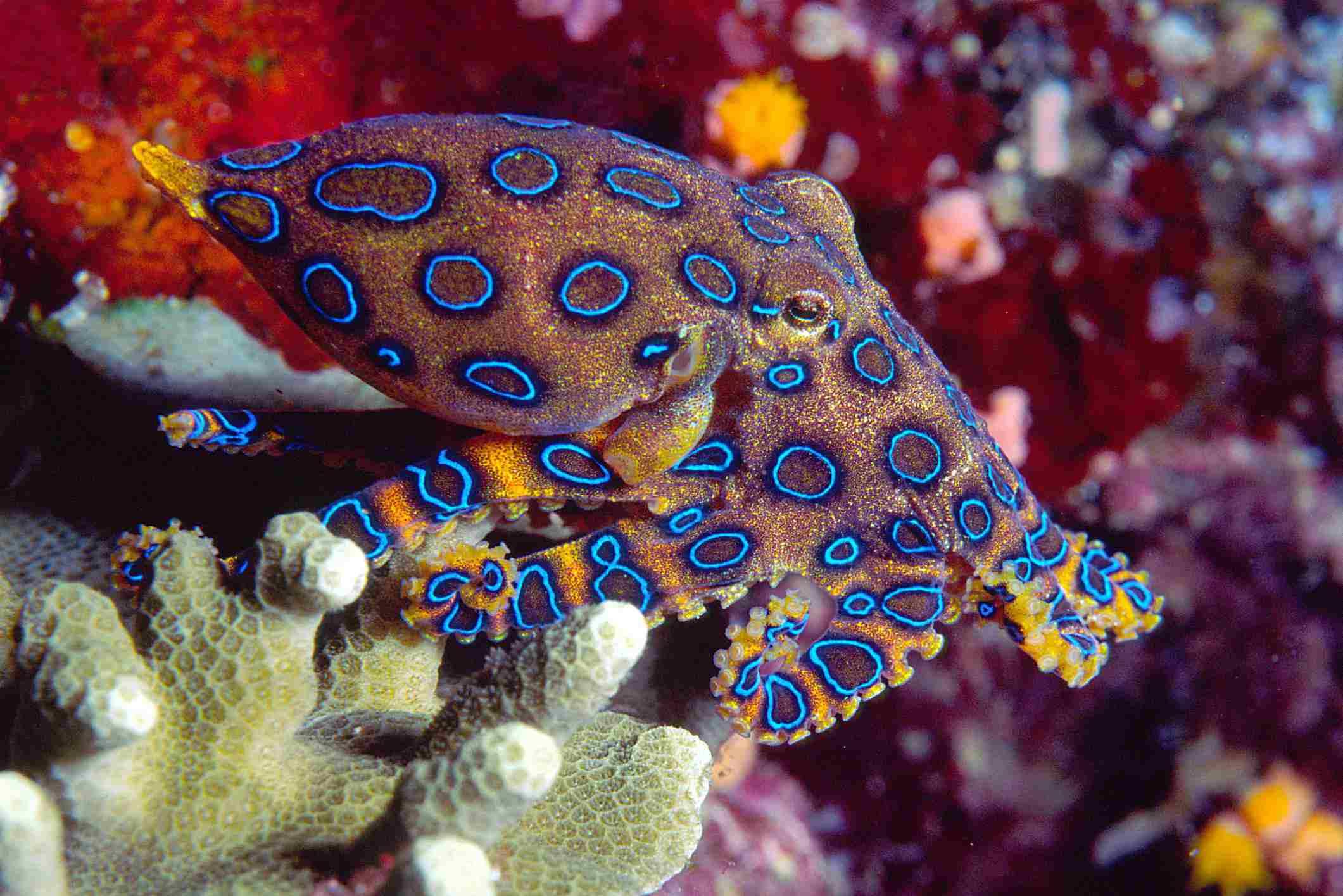 Blue Ringed Octopus / Richard merritt FRPS / Moment / Getty Images