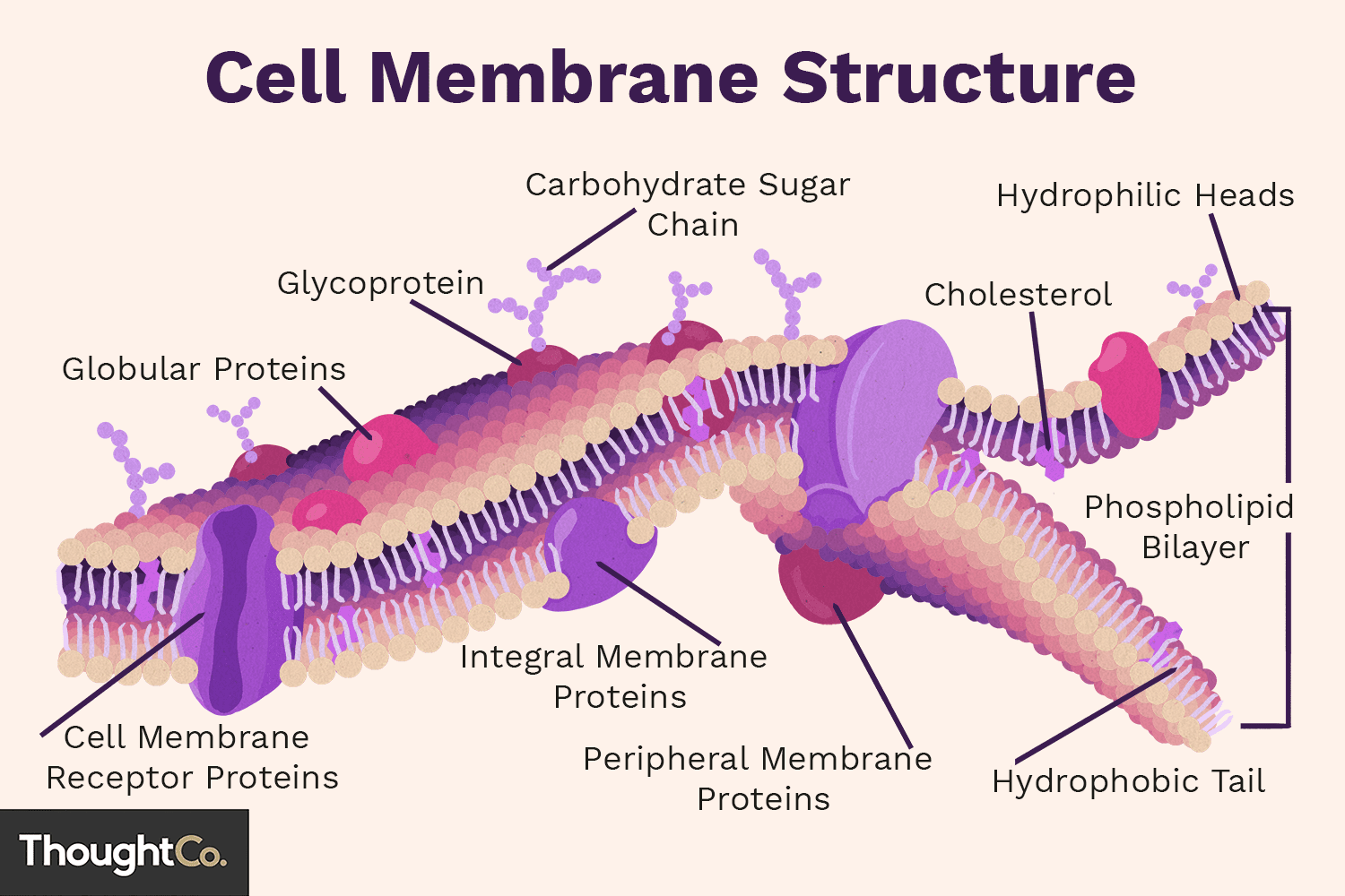 Cell Membrane Function And Structure Its Very Simple Just Follow The Diagram That I Attached
