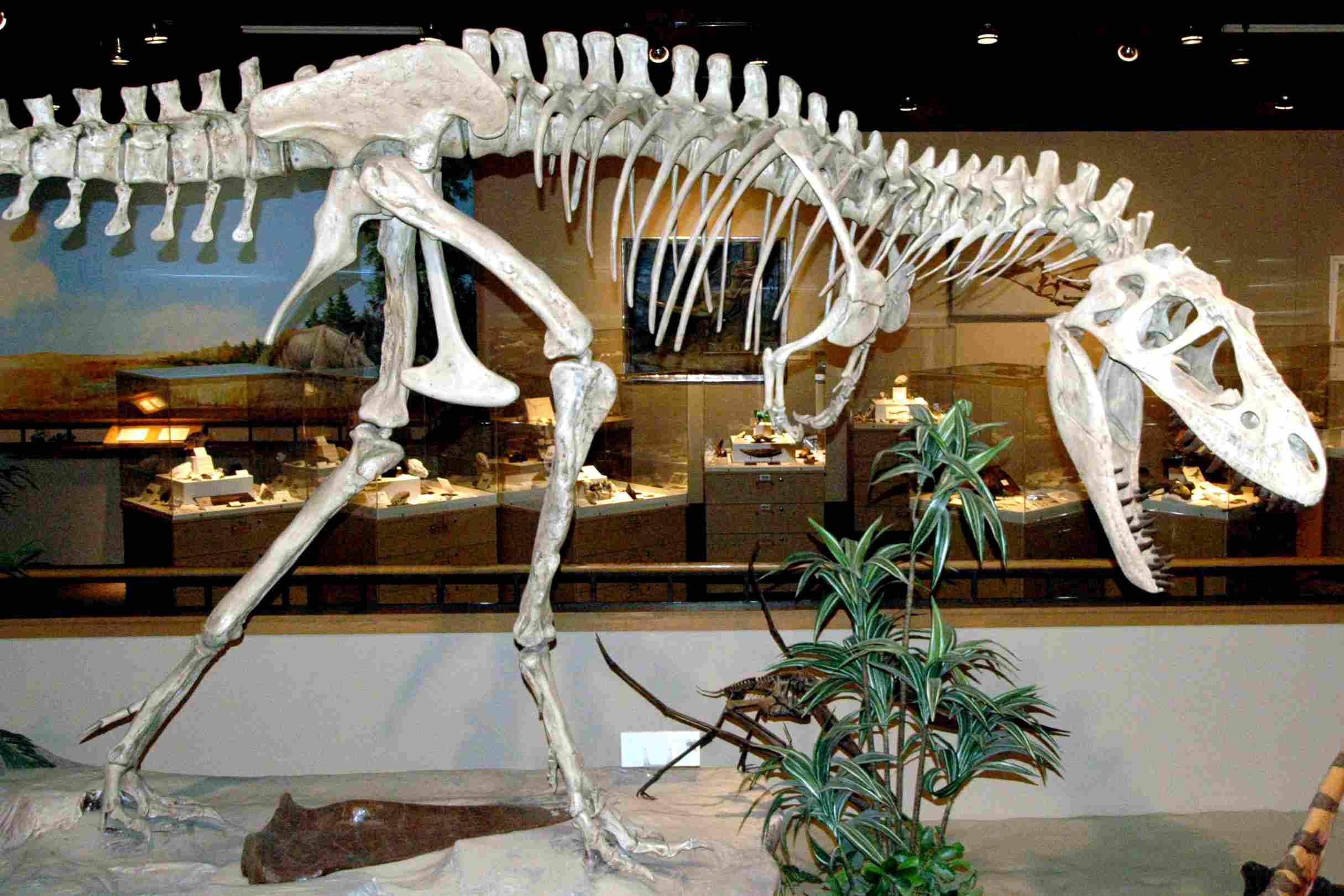 A albertosaurus skeleton
