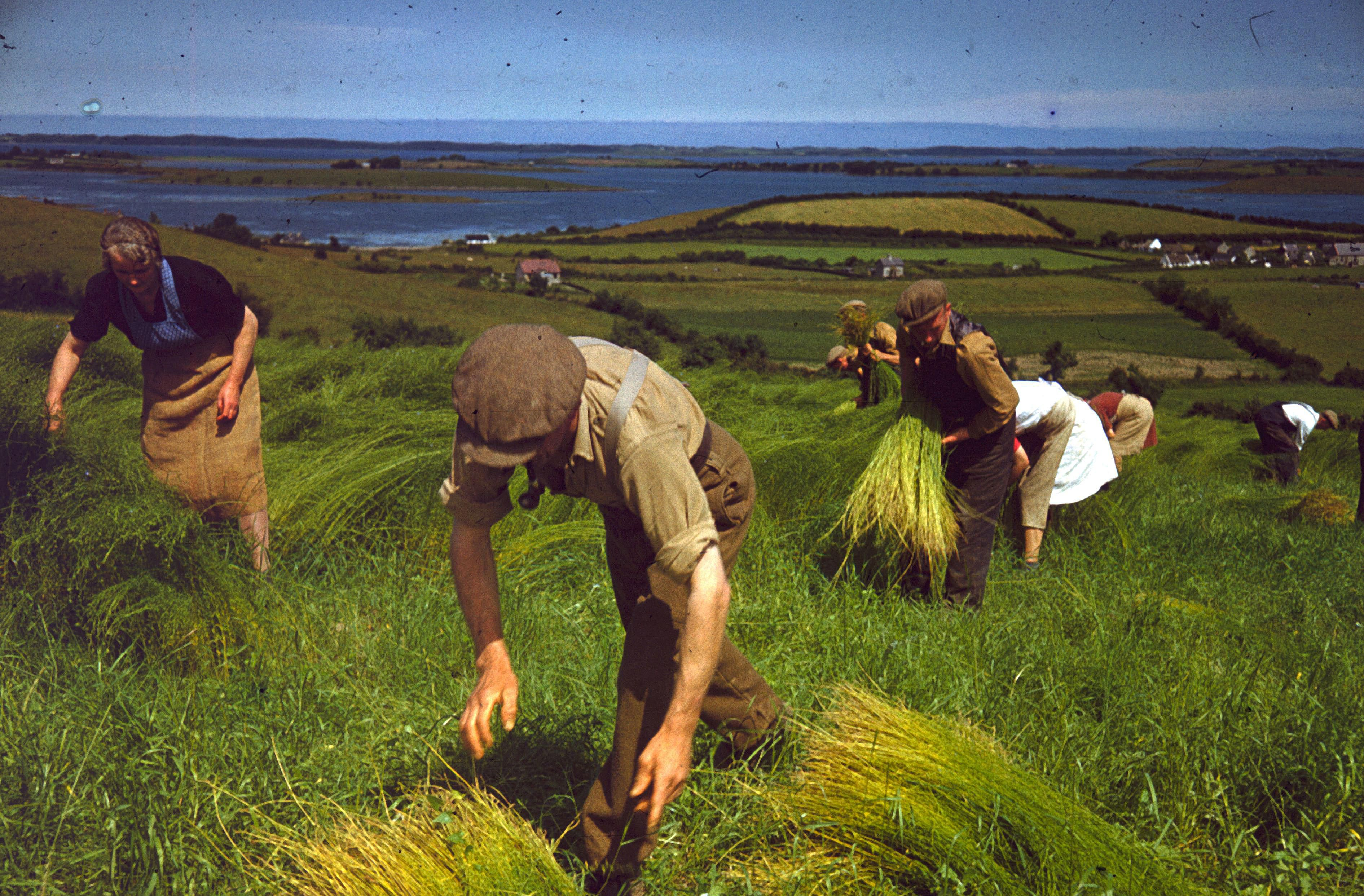 Was your ancestor a flax grower? Agricultural workers harvest flax to make linen at Killinchy in County Down, Northern Ireland, c. 1948.