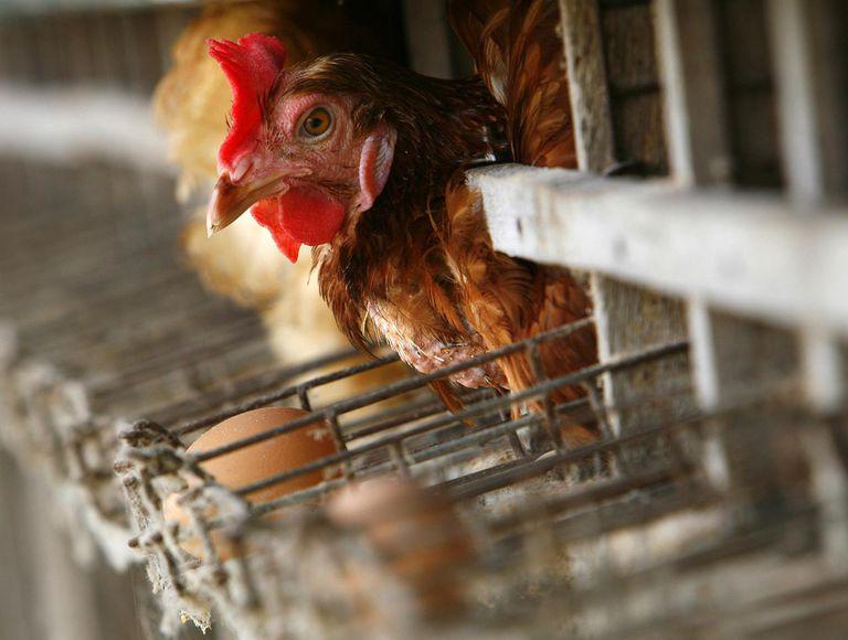 Bird Flu Increases The Threat To Chicken Farmers Livelihoods