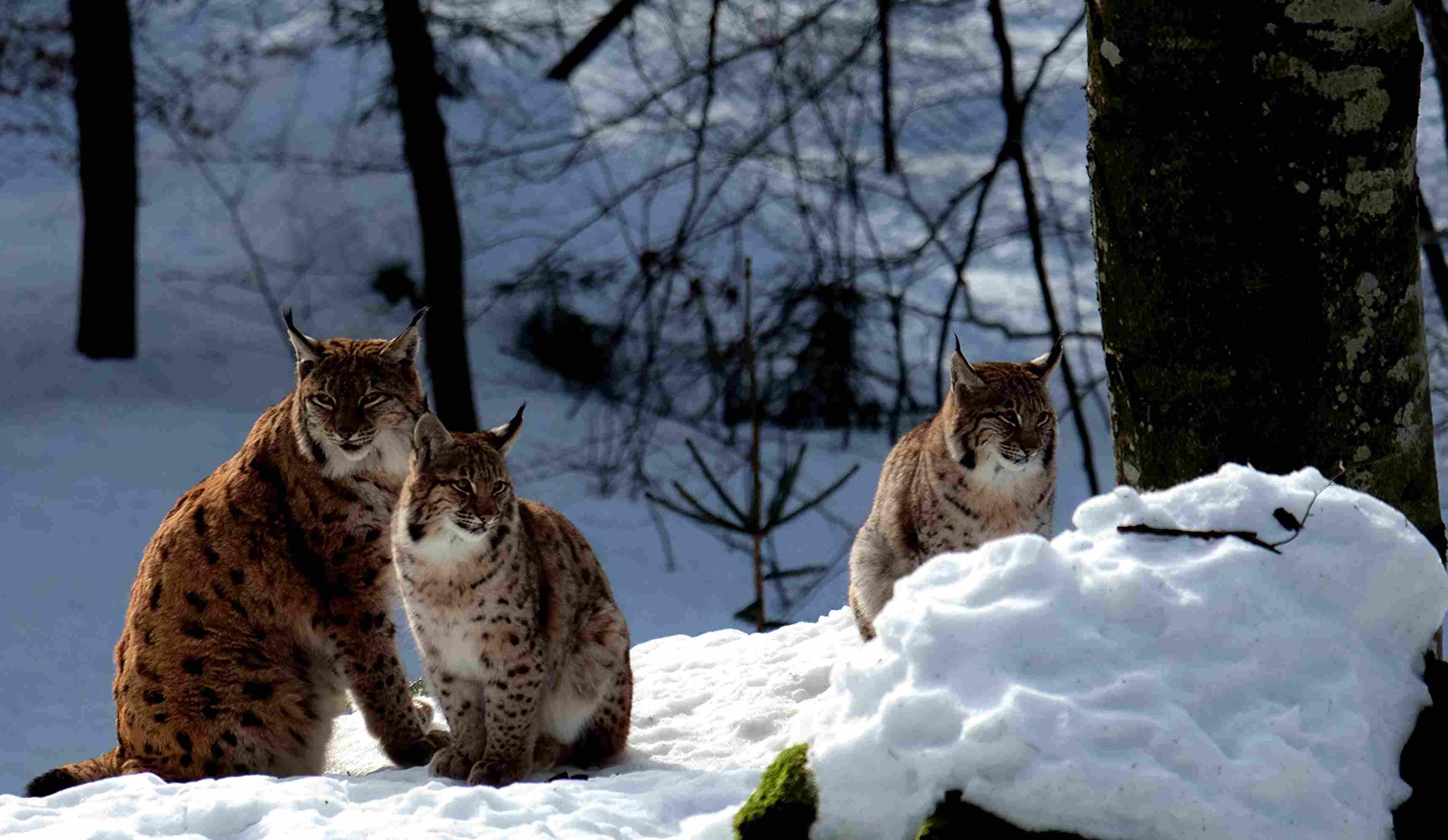 Three bobcats in the snow.