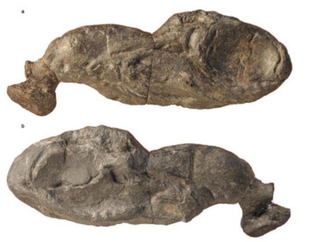 ozarcus fossil