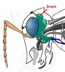 Insects do have brains, as noted in this illustration.