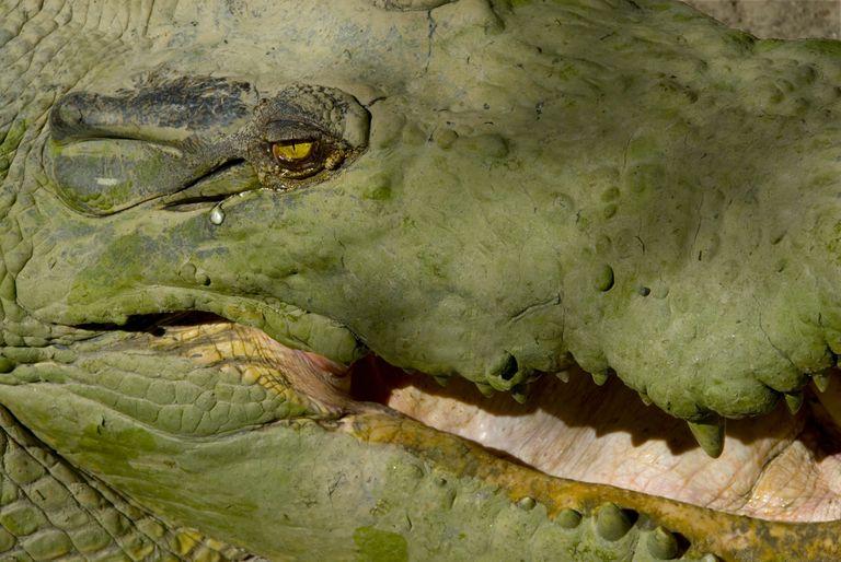Adage - crocodile tears