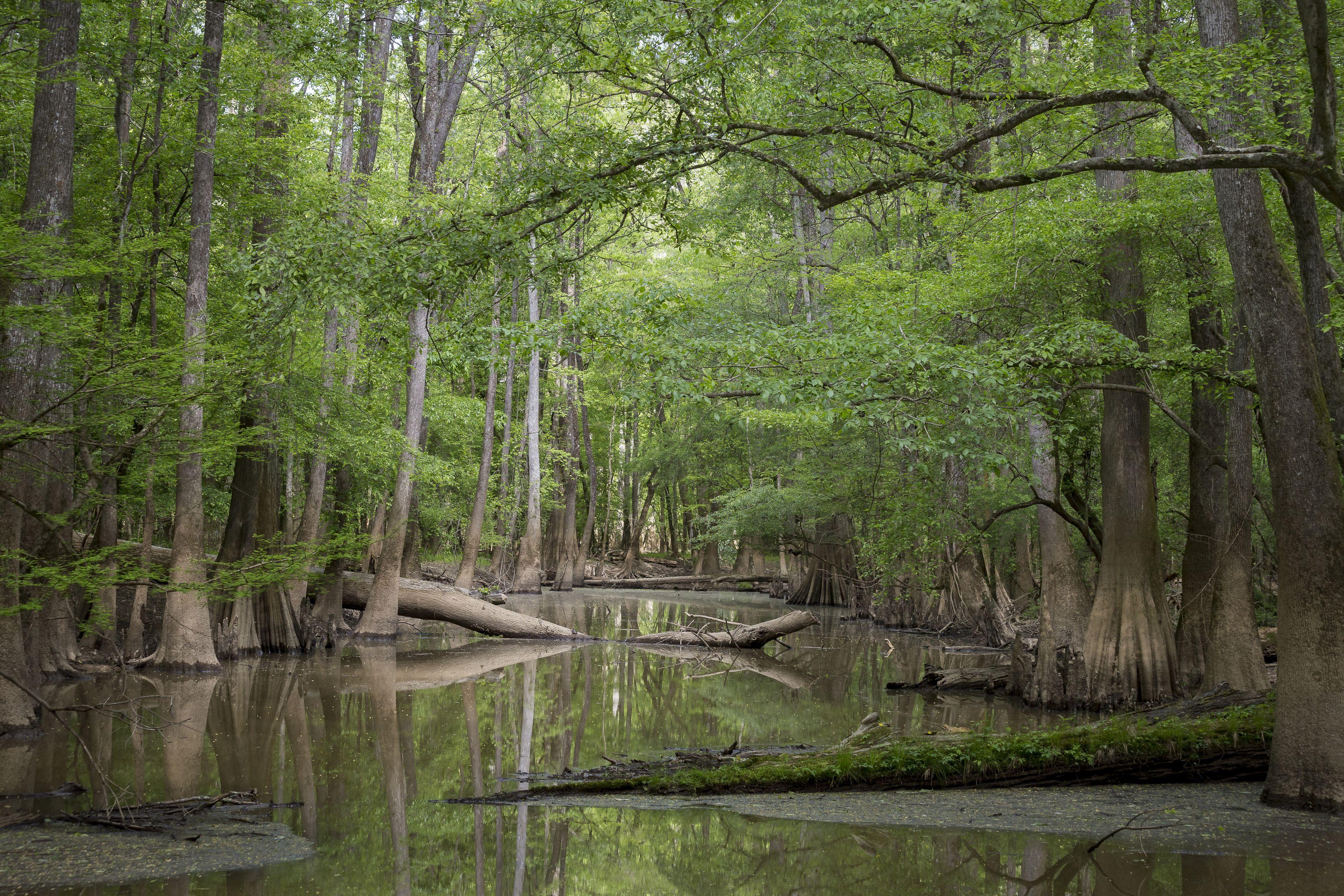Cypress Grove swamp.