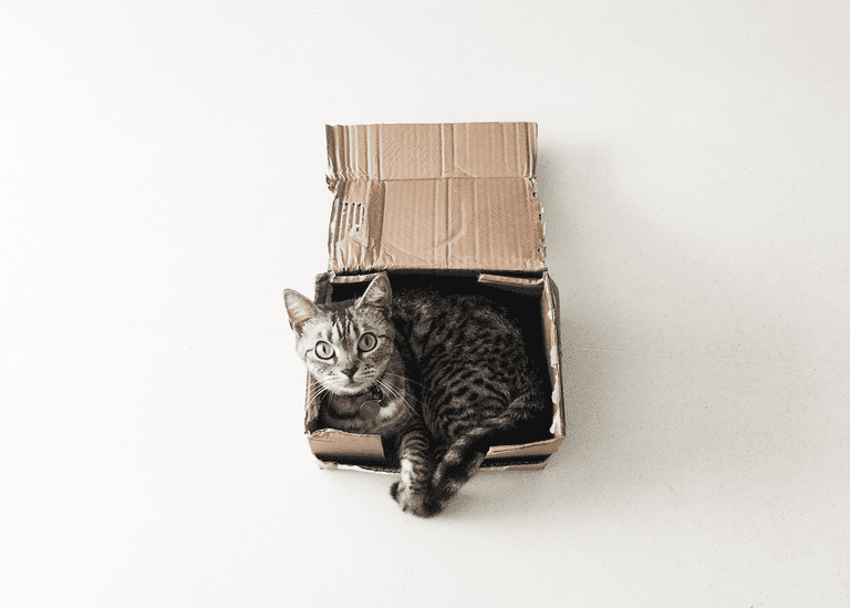 American shorthair cat in a cardboard box