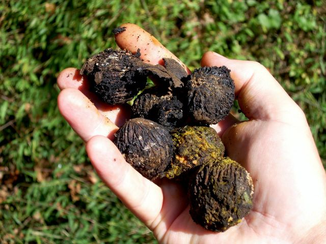 Collecting a Black Walnut Crop for Seeds and Nuts