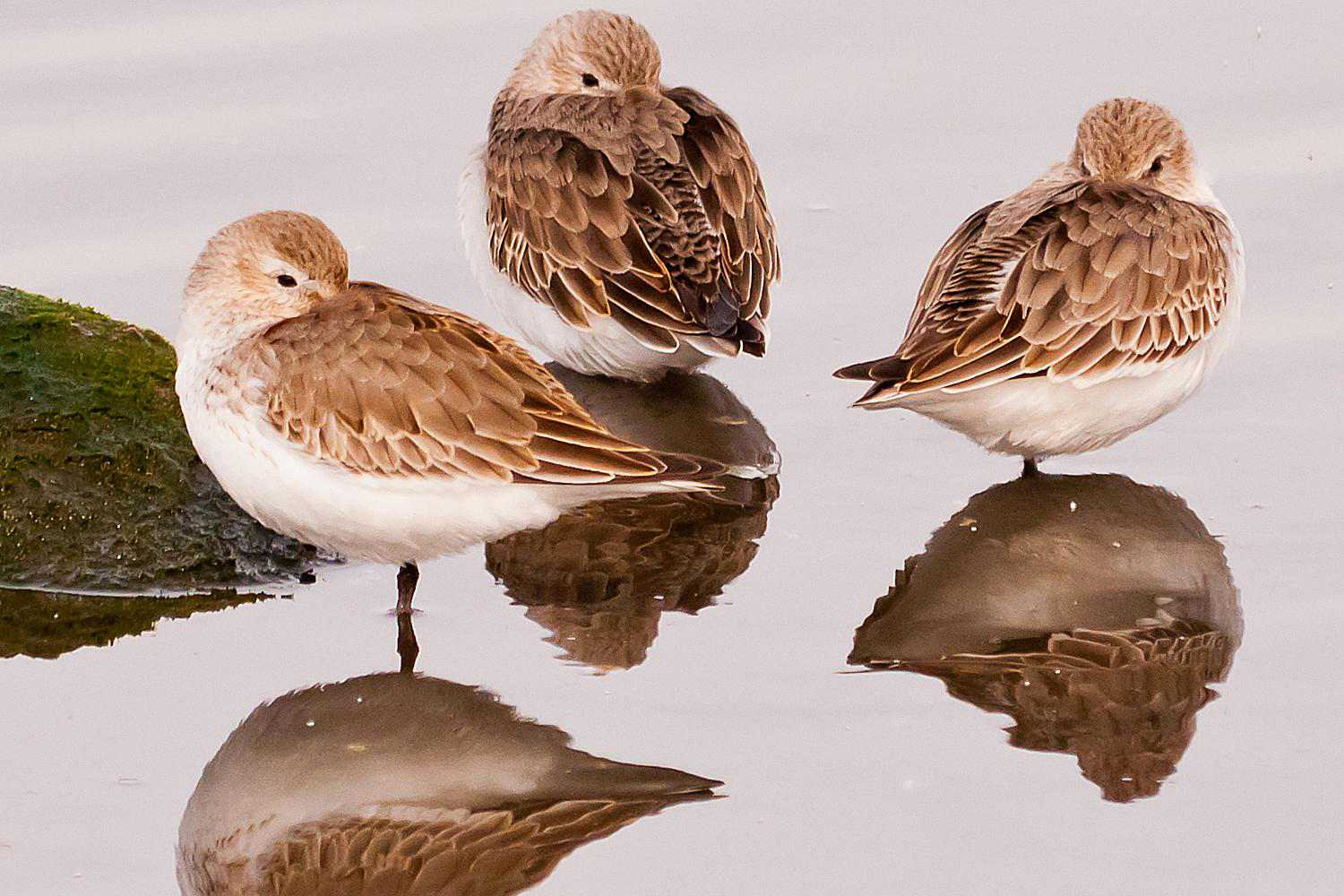 Three dunlins standing in shallow water