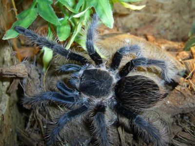 What to Know Before Buying a Pet Tarantula