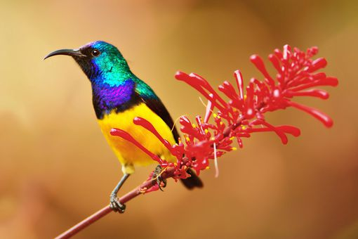 Male sunbird on red flower