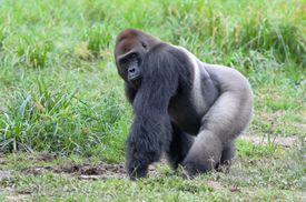 Western lowland gorilla (Gorilla gorilla gorilla), Bayanga, Central African Republic