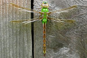 Common green darner dragonfly on a wooden fence.
